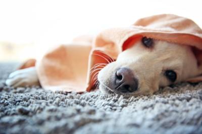 布にくるまる犬