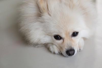元気のない犬 99741648