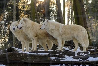 オオカミの群れ