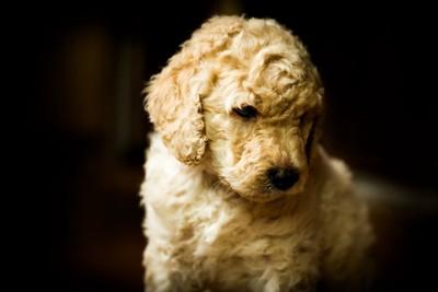 ラブラドゥードルの子犬
