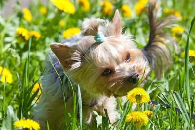花の匂いを嗅ぐヨーキー