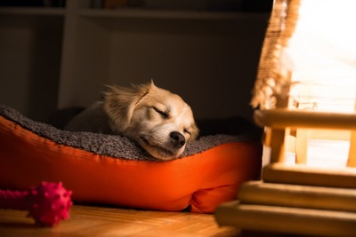 気持ち良さそうに犬用ベッドで眠る子犬
