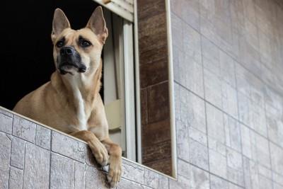 窓から身を乗り出す犬