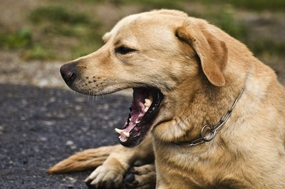 地面に伏せてあくびをする外飼いの犬