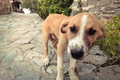 石畳を歩く野良犬