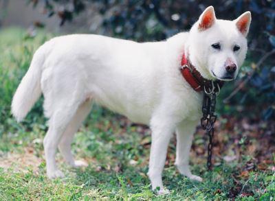 赤い首輪をしている紀州犬の写真