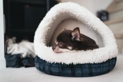 ベッドの中のチワワ
