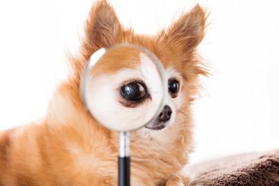 虫眼鏡を覗くチワワ