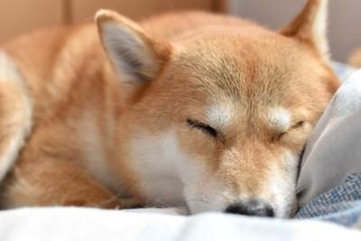 ベッドで眠る柴犬の顔アップ