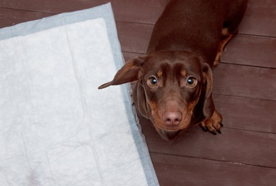 トイレシートと見上げる犬