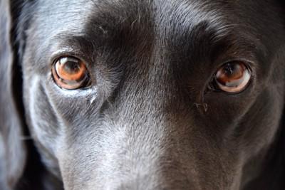 黒い犬の茶色の瞳アップ