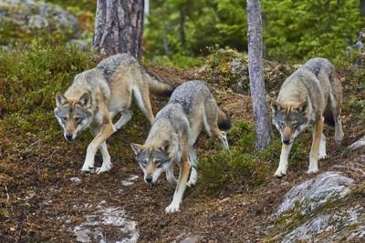 狩りに出かけるオオカミの群れ