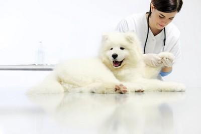 獣医師に足をチェックされる犬