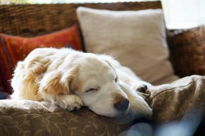 ソファーで穏やかに眠る老犬