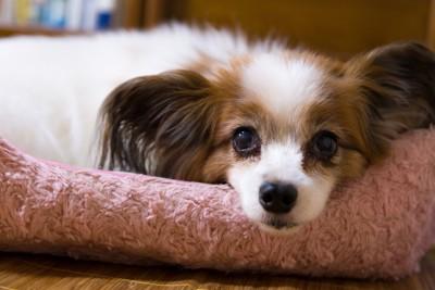 ベッドでくつろいでいる老犬