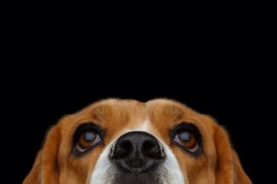 上を見る犬の顔アップと黒い背景