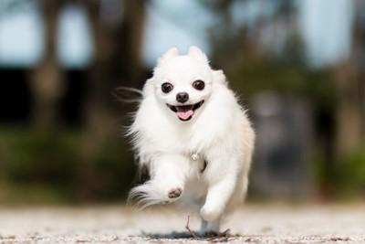 笑顔で走るチワワ