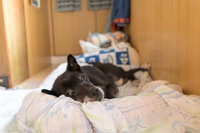布団で横になっている黒い老犬