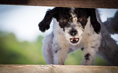 吠えて威嚇する白黒の犬