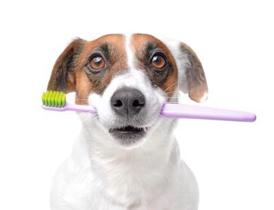 歯ブラシを口にくわえたジャックラッセルテリア
