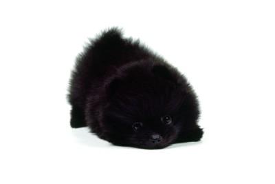 黒いポメラニアンの子犬の写真