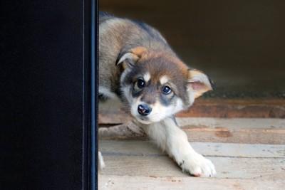 怯えてドアの後ろに隠れる子犬