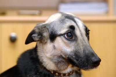 怯えたような表情で耳を下げている黒い犬