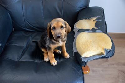 破けたソーファーに座る子犬