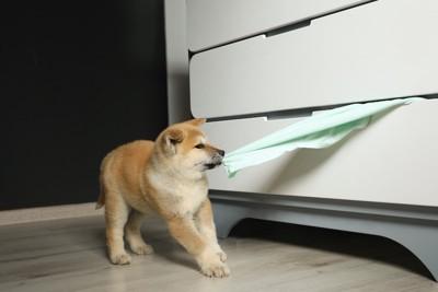 タンスからはみ出たタオルを引っ張る仔犬