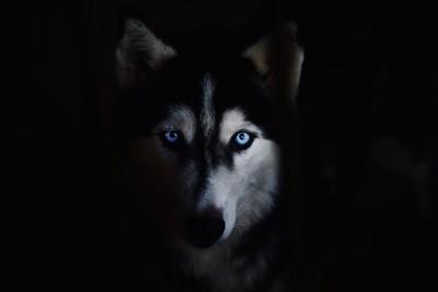 暗闇の中で見つめるシベリアンハスキー