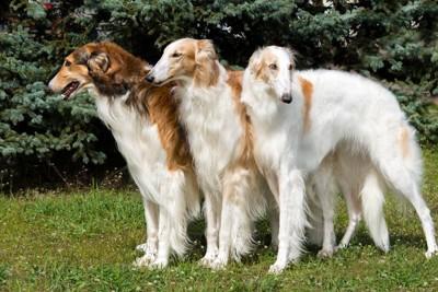 三匹のボルゾイ