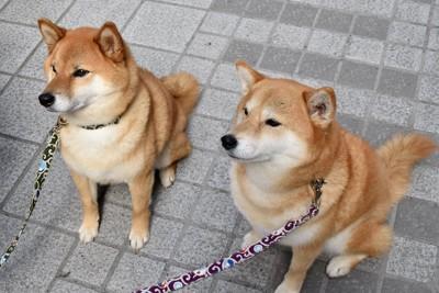 飼い主の指示で待つ二匹の犬