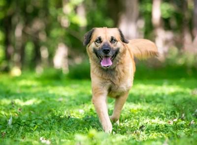 笑顔で歩いてくる犬