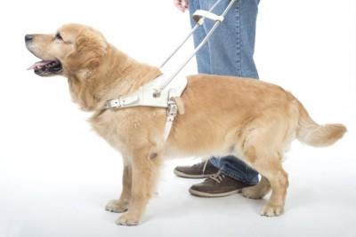 盲導犬用ハーネスを着けたゴールデンレトリーバー