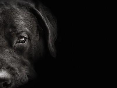 悲しい表情の黒ラブ