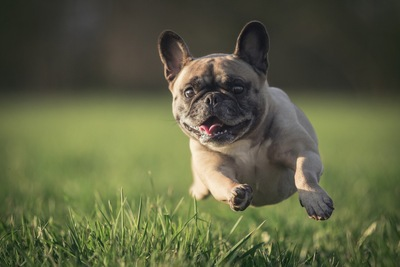 芝生を飛び跳ねるパグ