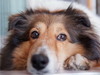 寂しそうな表情をした犬