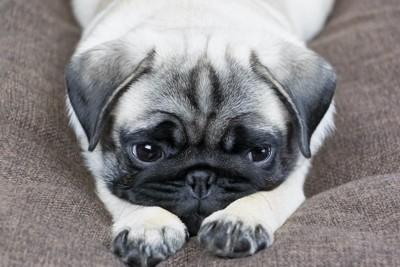 伏せて悲しそうな顔をするパグ
