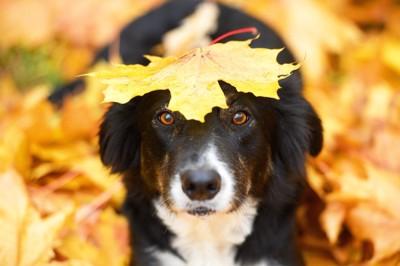 落ち葉を頭に乗せている犬