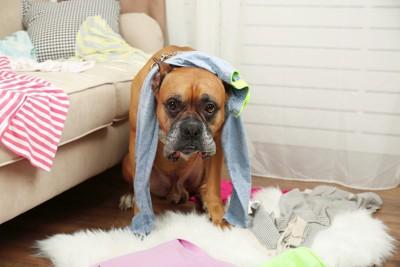 洗濯物を漁る犬