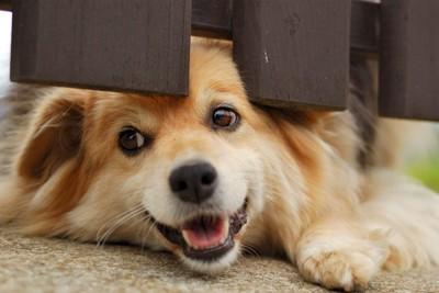 フェンスの下からにっこりする犬