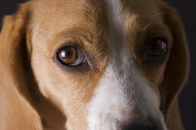 不安な目でこっちを見つめるビーグル犬