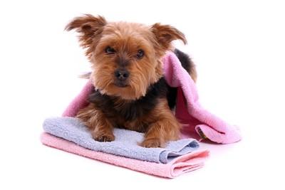 タオルをかける犬