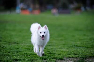 日本スピッツという犬