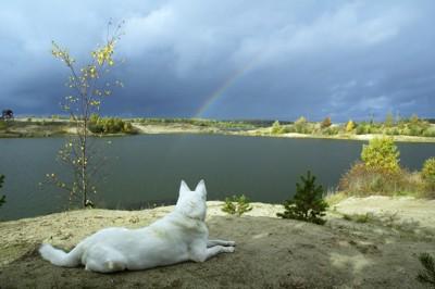 白い犬と遠くに見える虹