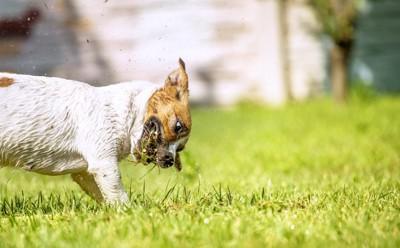芝生に穴を掘るジャックラッセルテリア