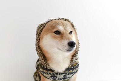 服を着て、フードを被っている柴犬