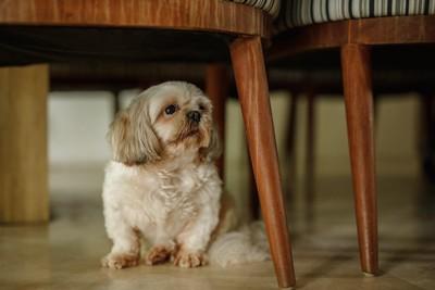 家具の下に座っているシーズー
