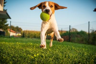 ボールをくわえて走ってくる犬
