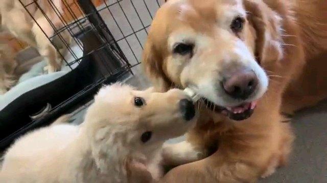 親のガムを噛る子犬